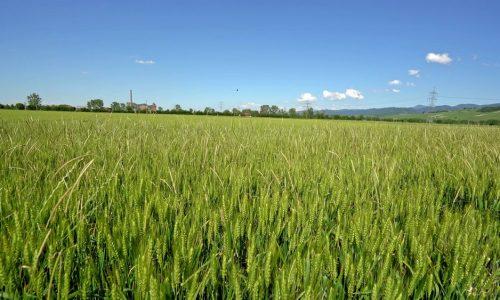 Qual è la differenza tra il grano e le zizzanie?